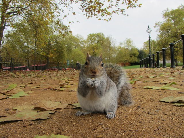 grey-squirrel-111071_640